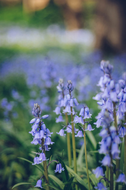 Memories of England-Bluebells