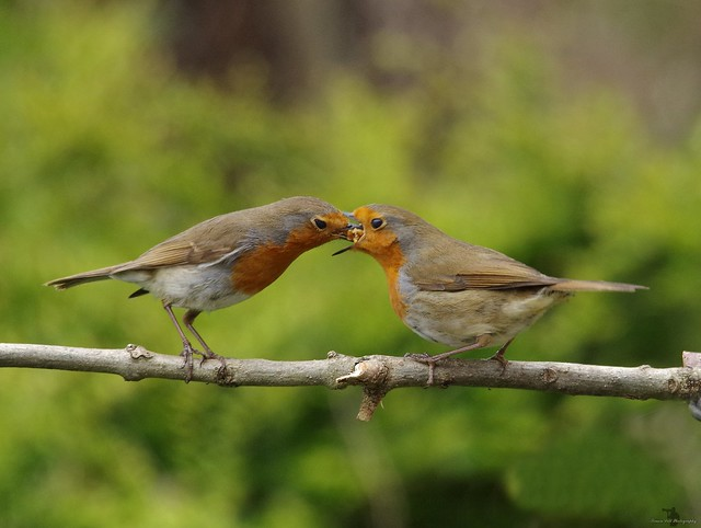 robin feeding mate 1