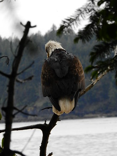 may 11 2017 11:20 - wet adult Eagle | by boonibarb