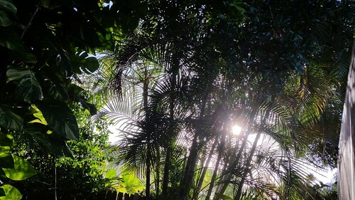 sun sunrise plants nature trees palms palmtrees tropical summer sunlight green border leaves branches oaks philodendron fern ivy tropicalplants garden sabalpalm fanpalm paurotispalm reclinatapalm outdoors queenpalms morning