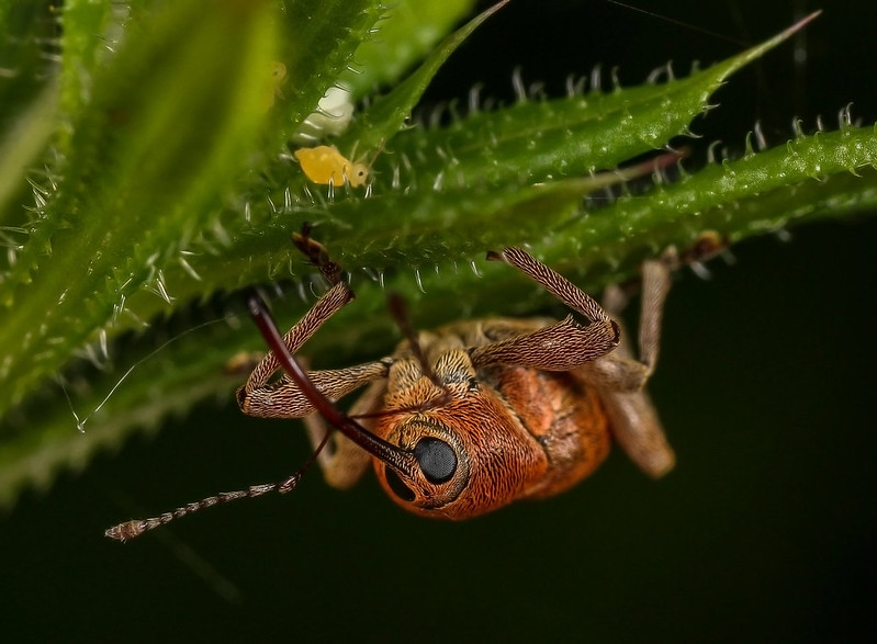 Oak weevil