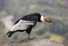 Andean Condor (Vultur gryphus) by Sergey Pisarevskiy