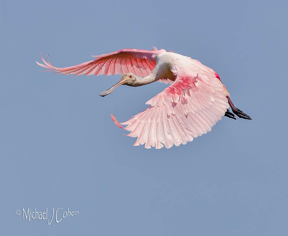 Roseate Spoonbill Forward Wings