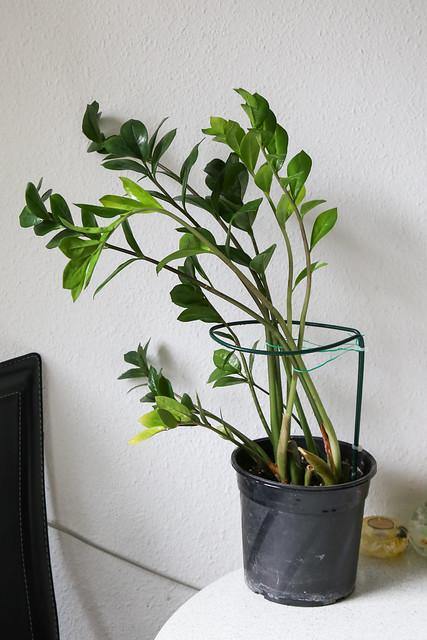 Zamie (Zamioculcas zamiifolia)
