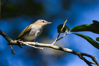 Red-eyed Vireo | by TimHerbert
