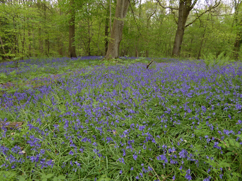 Ockley bluebells Ockley to Warnham walk