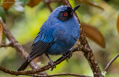 Masked Flowerpiercer — Diglossa cyanea | by CORAVES COLOMBIA PHOTOEXPEDITIONS