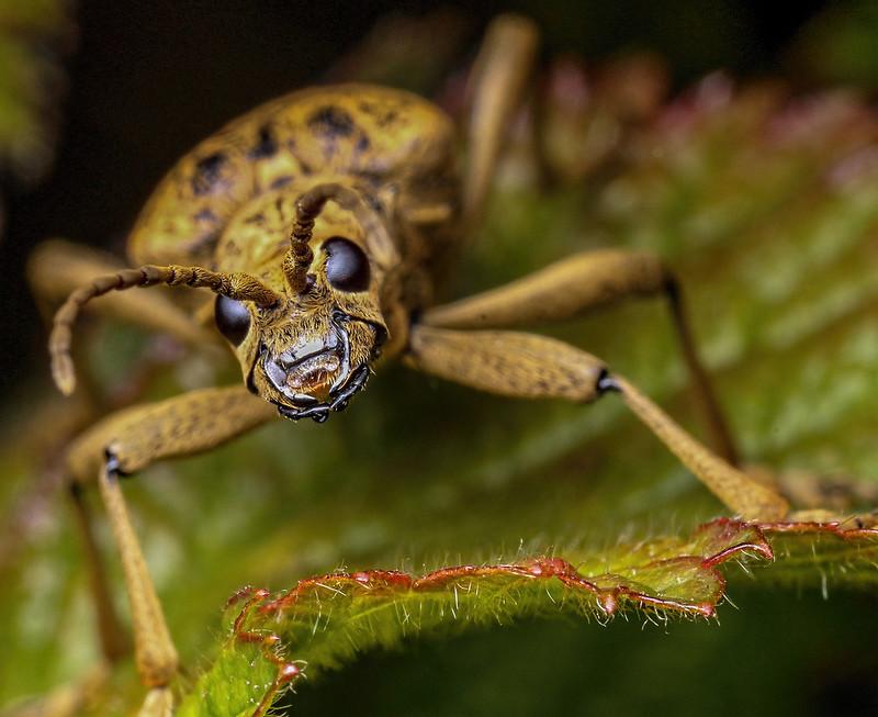 Longhorn beetle Rhagium mordax