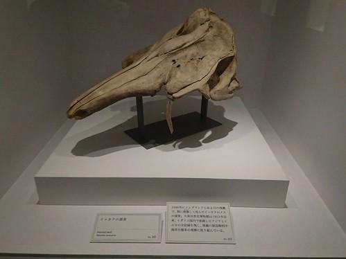 イッカク(メス)の頭骨
