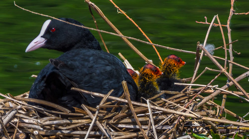Moorhens (1 of 1)