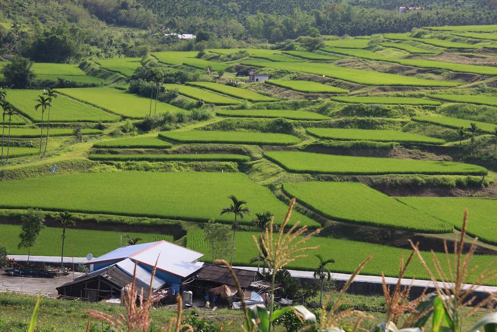 台灣東部水稻田。圖片提供:花蓮農改場