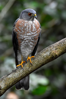 Besra (Accipiter virgatus) | by Thanks for 4 million views