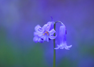 Bluebell | by Gary Neave.