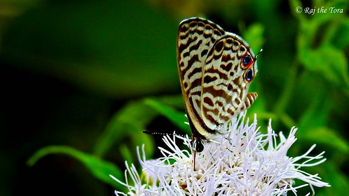 Stripes on Coconut Shreddings | by Raj the Tora