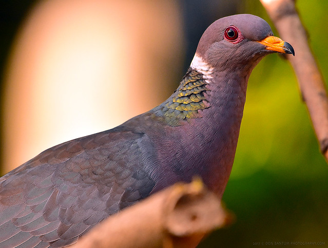 Ring-necked_Pigeon_011