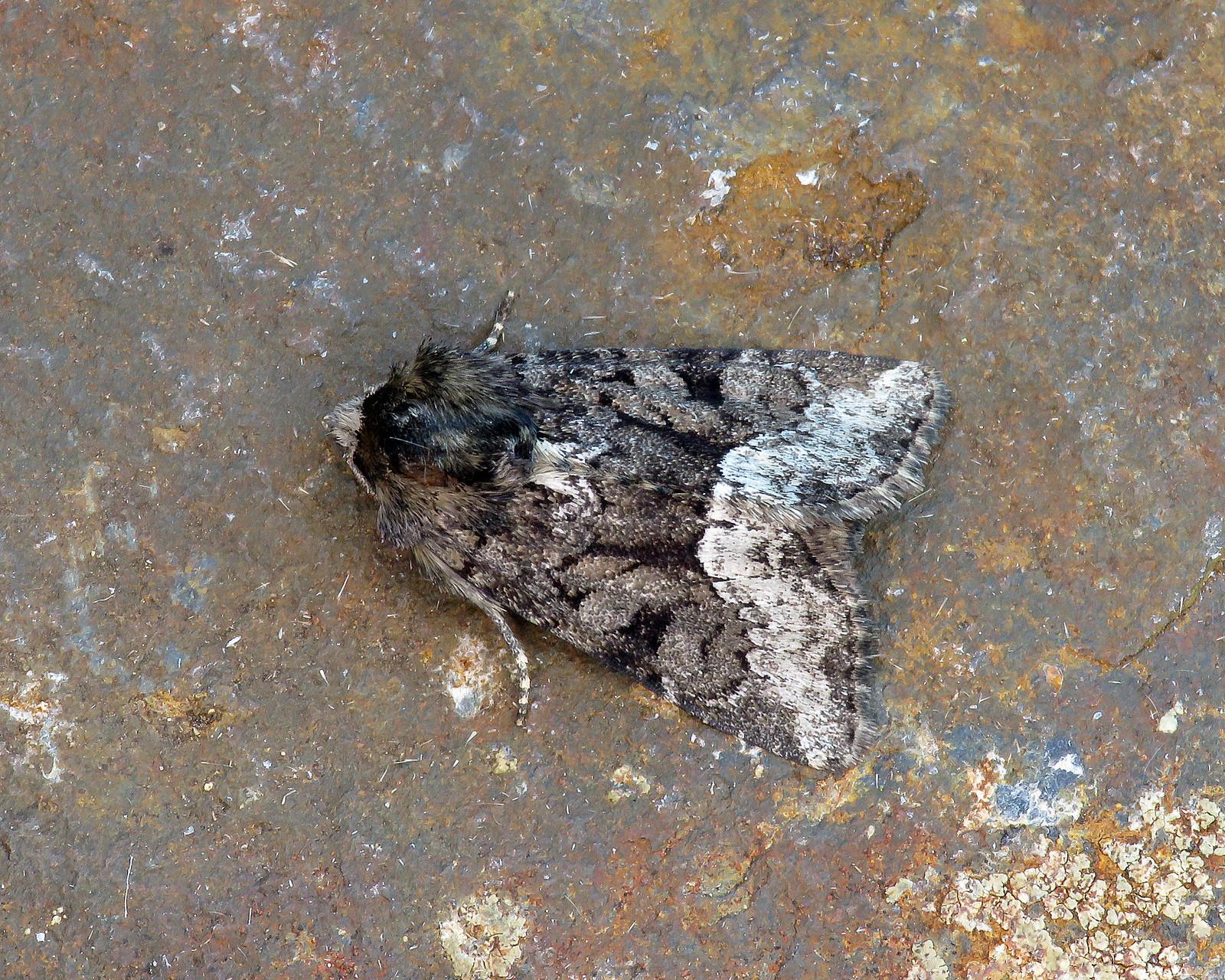 73.173 Marbled Minor - Oligia strigilis agg.