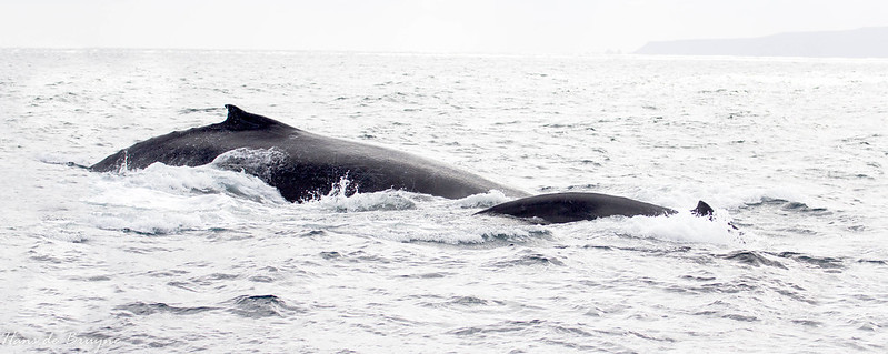 Humpback whale with child