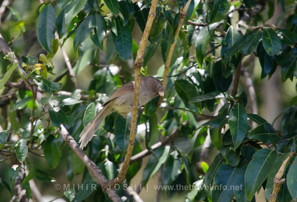 Brown Parrotbill [Picoloro Unicolor]