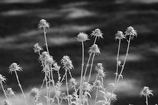 IT Thistles | by Bill de Jager