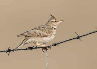Crested Lark | by tickspics