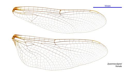 taxonomy:order=odonata zyxomma hindwing odonata geo:country=australia australia forewing shorttailedduskdarter taxonomy:family=libellulidae zyxommaelgneri australianmuseum taxonomy:binomial=zyxommaelgneri elgneri libellulidae wings dragonfly anisoptera