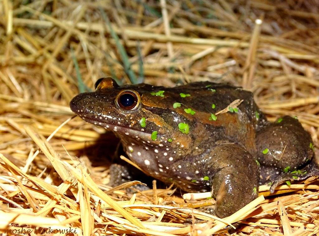 Hula Painted Frog (Latonia nigriventer) - עגולשון שחור גחו…   Flickr