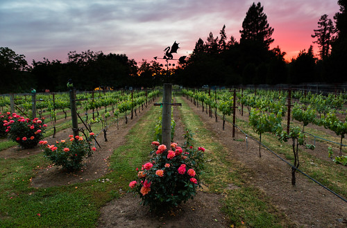 napa california unitedstates us canoneos5dmarkiii sunset napavalley sundown vineyard outdoor outside family