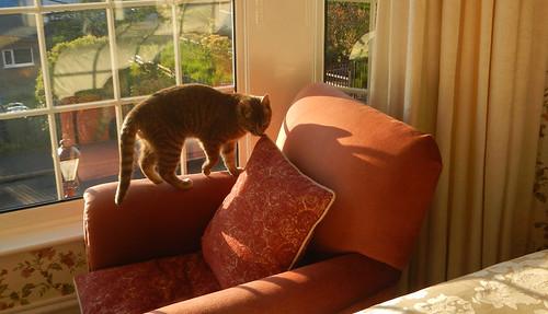 A cute cat checks out a comfy chair at a B&B in Caernarfon, Wales