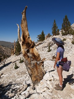 073 Cool-looking dead Bristlecone Pine stump at the Patriarch Grove | by _JFR_