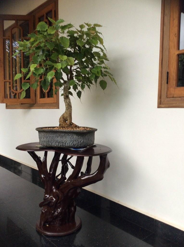 Ficus religiosa bonsai eighteen years old. -