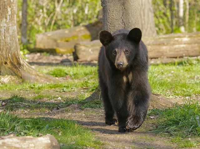 Black Bear_6340_05-15-17_MN_resized