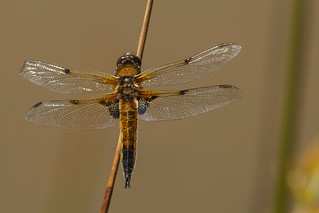 Four-spotted Chaser ♀