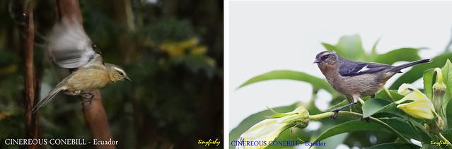 (Species# 1083) Cinereous Conebill - [ Yanacocha Reserve, Ecuador ]