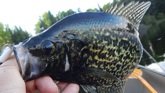 Crappies in the Canoe