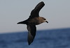 Great-winged Petrel Pterodroma macroptera by Neil Cheshire