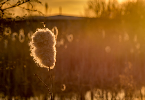 wildlifetrustforsheffieldrotherham rotherham centenaryriverside reedmace sunset lateeveninglight backlit seedhead