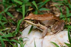 Pelophylax lateralis, Kokarit frog (brown) - Kaeng Krachan District, Phetchaburi