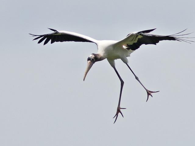 Wood Stork immature landing 3-20170612