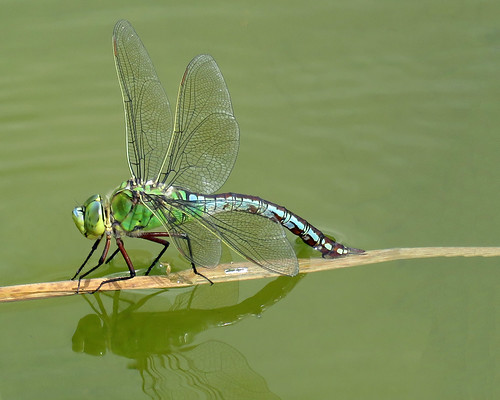 Emperor Dragonfly - Anax imperator   by erdragonfly