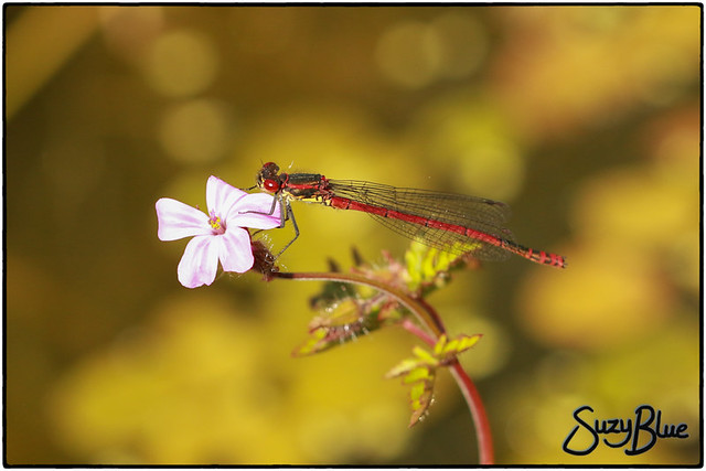 First Large Red Damselfly of 2017 :)