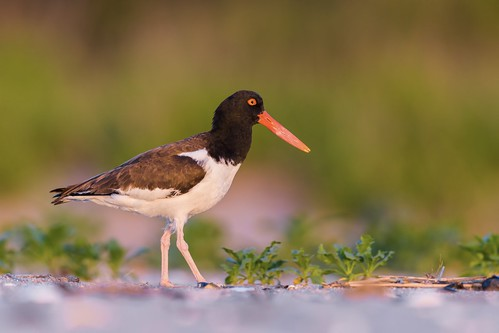 oystercatcher bird belmar morning nature wildlife habitat plant vegetation shore beach nikon d7200 color sunrise animal haematopuspalliatus newjersey