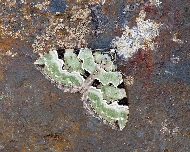 70.100 Green Carpet - Colostygia pectinataria