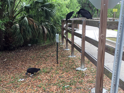 Black Vultures | by magnificentfrigatebird