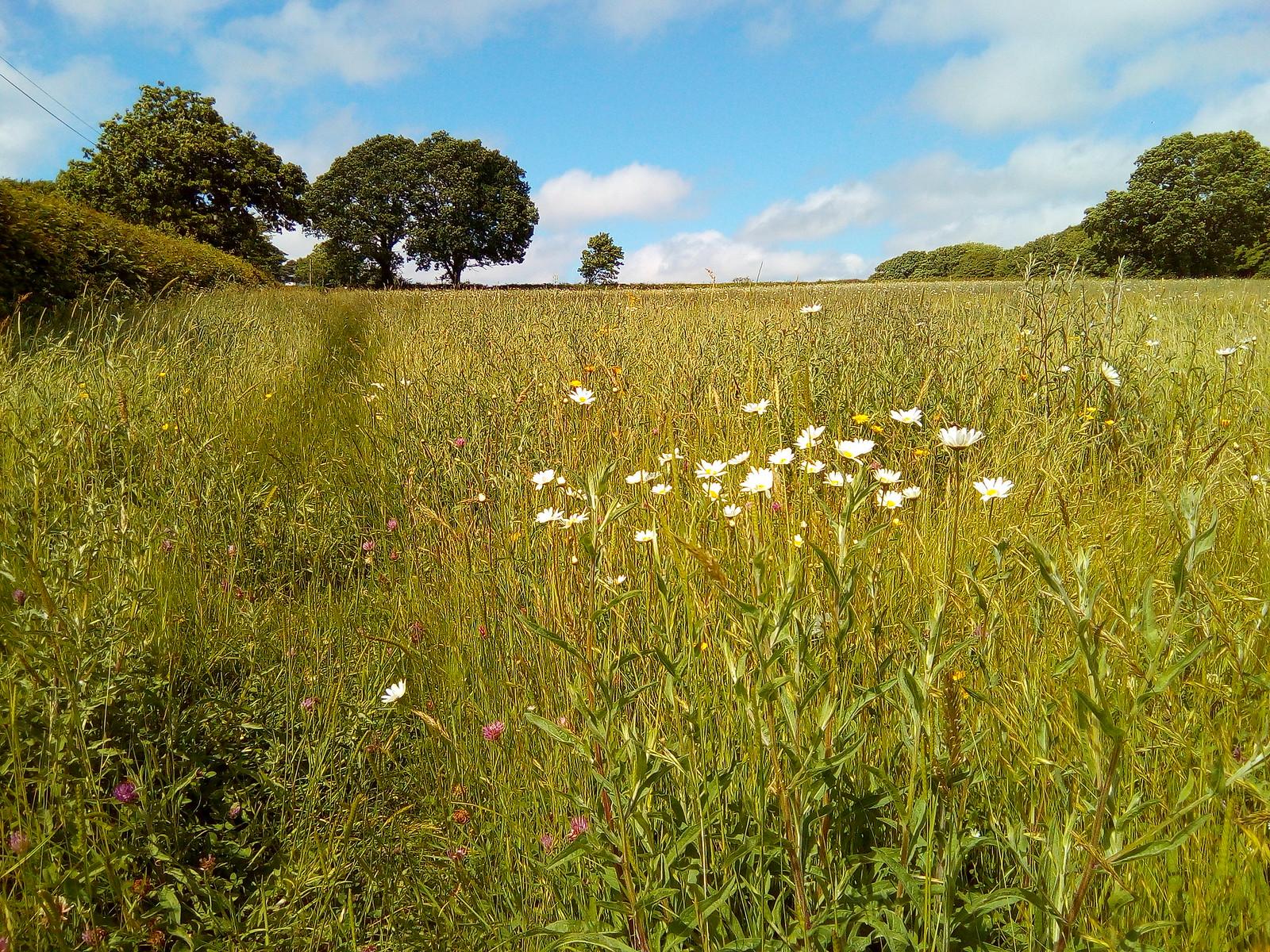 Oaks and Oxeye daisies Apparently Leucanthemum vulgare for Latin aficionados