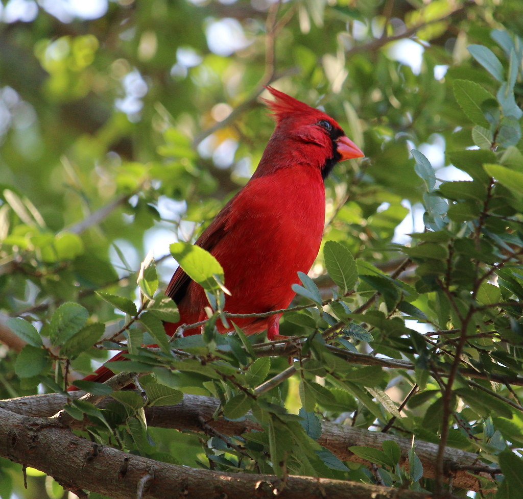 Northern Cardinal Benston St Park TX 4-17