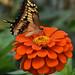 butterflies-52 by hintze8