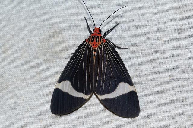 Caryatis hersilia