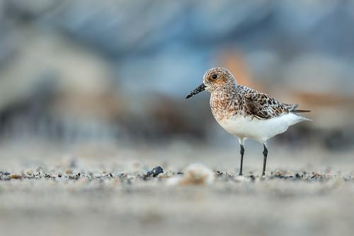 shorebird beach calidrisalba nature migration wildlife sandpiper breedingcoloration sanderling bird peep reedsbeach newjersey unitedstates us nikon d800e