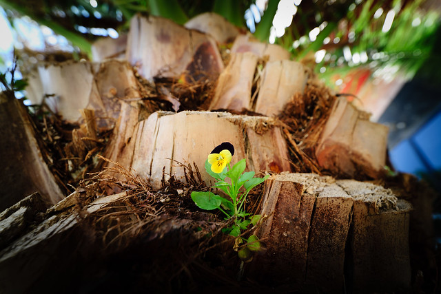 Pansy flower over palm tree