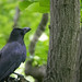 カラス(Carrion crow,Jungle crow)